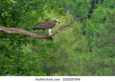 Osprey perched on a high branch holding a fish it is eating. High park, Toronto, Ontario, Canada.