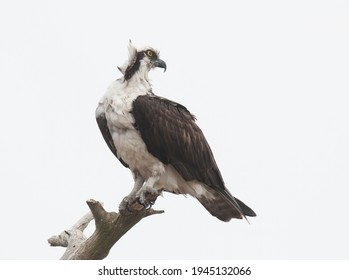 Osprey perched on top of a tree trunk