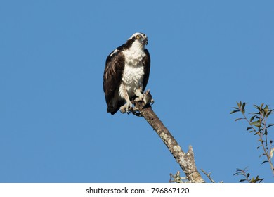 Osprey perched on top of tree branch with catch