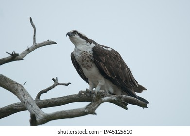 Osprey perched on tree branch against pale blue sky