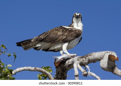 Osprey perched on a tree holding a fish in the Everglades