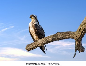 Osprey perched on a tree near sunset over the Chesapeake Bay in Maryland