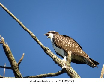 Osprey Perched in Top of Bare Tree With a Bright Blue Sky in the Background