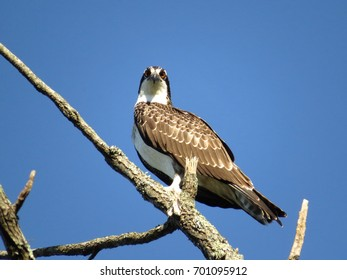 Osprey Perches on Bare Tree With Bright Blue Sky in the Background