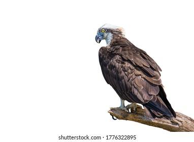 Osprey, Sea hawk, Fish eagle on branch on white background.