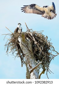 Osprey Sits on It's Nest While It's Mate Is About to Land