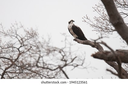 An osprey sits on a tree branch in early spring when trees are beginning to bud
