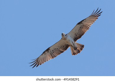 Osprey soaring with wings spread
