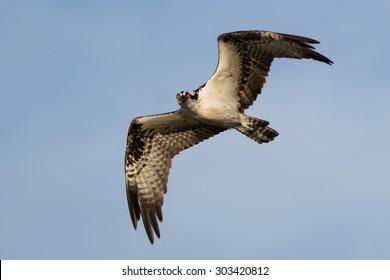 Osprey Soars in blue background
