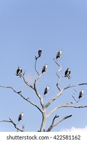 Osprey, sometimes called sea hawks, perched on the limbs of a dead tree.