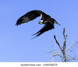 An Osprey takes off from its perch in a tree at Lake Okeechobee in Florida