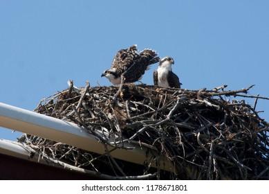 Osprey, two fledglings in nest