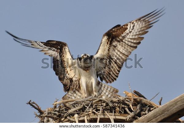 OSPREY/NESTING BIRD/BIRD ON NEST