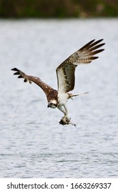 Ospreys search for fish by flying on steady wingbeats and bowed wings or circling high in the sky over relatively shallow water. They often hover briefly before diving, feet first, to grab a fish.