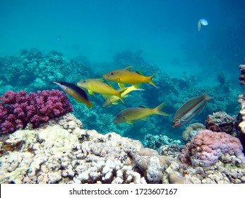 Рыбы - тип костные рыбы .Osteichthyes Барабульки - Mullidae Золотистая зубатая барабуля.