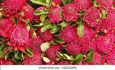 Ostentatious Showy Decorative Red Waratahs in Arresting Vibrant Bloom.