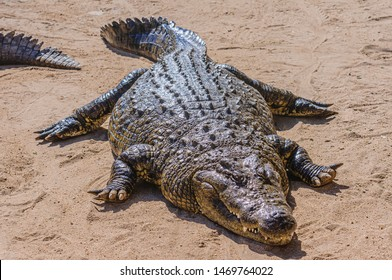 Osteoderms on the armoured skin on the back of a 1 tonne male Nile Crocodile (Crocodylus niloticus), Namibia