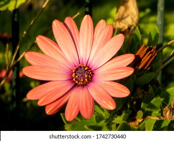 Osteospermum is an African daisy. Osteospermum coral. A small bush of the hardy long flowering plants of African daisy Osteospermum from the genus Asteraceae