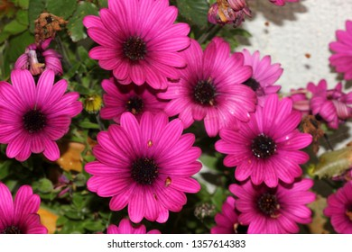 Osteospermum ecklonis `Asti Purple`, subshrub with rigid pointed leaves and stunning purple daisy like flowers, suitable for rock gardens, edging and containers.