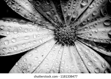 Osteospermum flower head and petals close up with water drops. Black and white monotone artistic view top down with