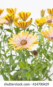 Osteospermum Flowerpower Pink Honey