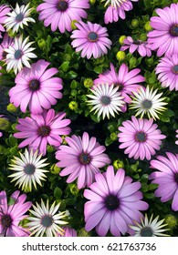Osteospermum flowers; background of pink osteospermum flowers