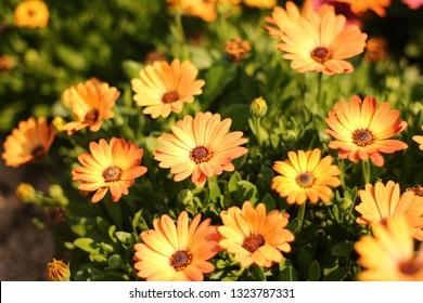 osteospermum flowers,Orange osteospermum flowers in full bloom, orange flowers from the osteospermum.