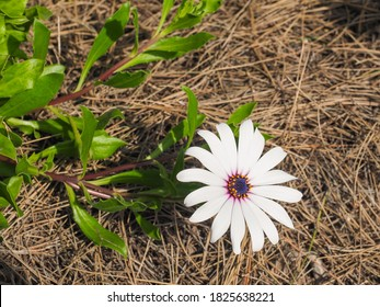 2efplkdyhtvirm The most common brown center daisy material is glass. https www shutterstock com search cape daisy