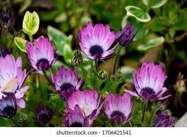 Osteospermum pink variety, growing in Spain.  Spring flowering, purple centre.