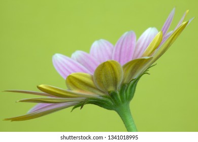 Osteospermum 'Pinks' against a green background