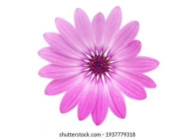 Osteosperumum Flower Daisy Isolated on White Background. Macro Closeup