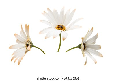 Osteosperumum Flower Daisy Isolated on White Background. Macro Closeup