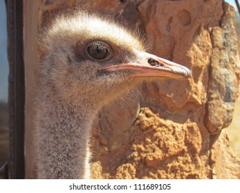 Ostrich.