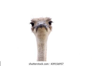 ostrich bird face