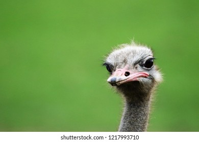 ostrich bird head and neck close up
