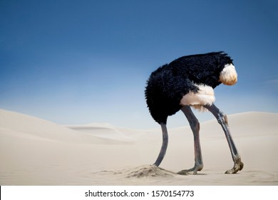 Ostrich burying head in the sand, Tsavo East National Park, Kenya, Africa
