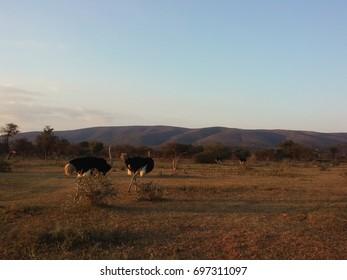 Ostrich in the Bush