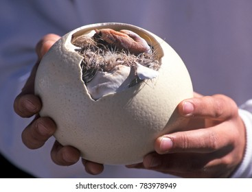 Ostrich chick breaking out of egg at a South African Ostrich farm.