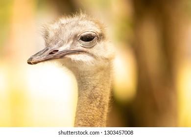 Ostrich Close up portrait, Close up ostrich head, Ostrich face