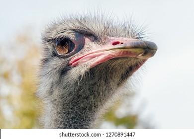 Ostrich Close up portrait, Close up ostrich head (Struthio camelus)