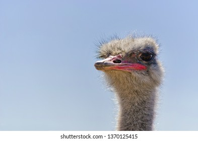 Ostrich Close up portrait with neck, Close up ostrich head against the blue sky. Struthio camelus.