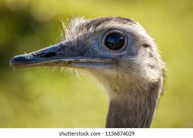 Ostrich closeup portrait