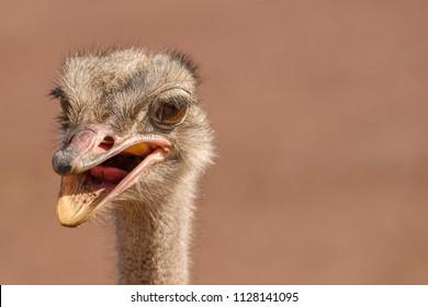 Ostrich Closeup Shot