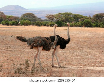 Ostrich as a couple