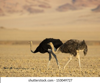 Ostrich couple in the desert, Sossusvlei, Namibia