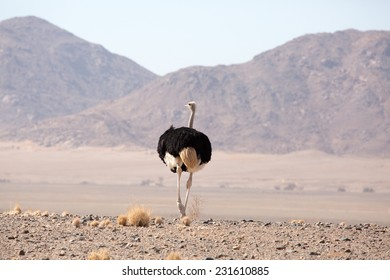 Ostrich in Desert, Namib-Naukluft National Park, Namib
