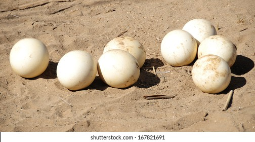 Ostrich eggs in the Klein Karoo, South Africa