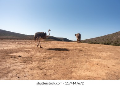 ostrich and elephant walking