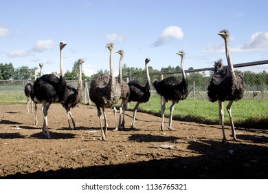 ostrich farm in Latvia