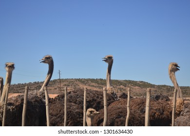 Ostrich farm offering daily details of the characteristic animal. Fighting in a crowd for their food and atention. Oudtshoorn, South Africa..